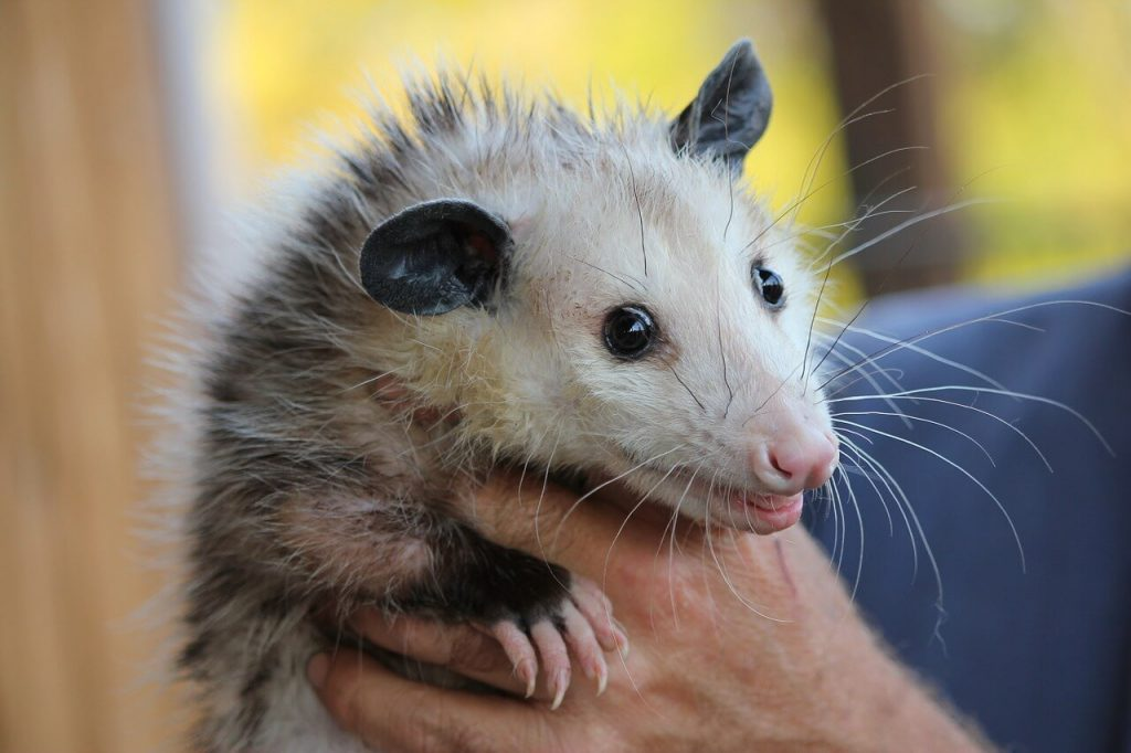 Aging opossums only have a short lifespan